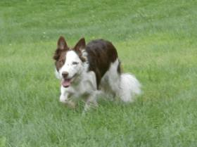 Looking VERY border collie!